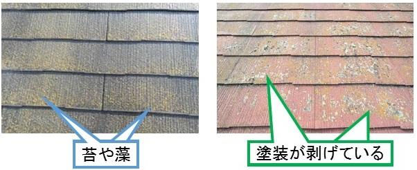 コロニアル屋根コケ、藻