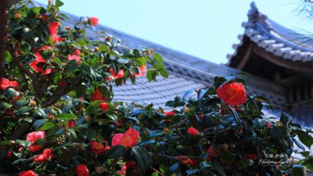 坪庭つばき
