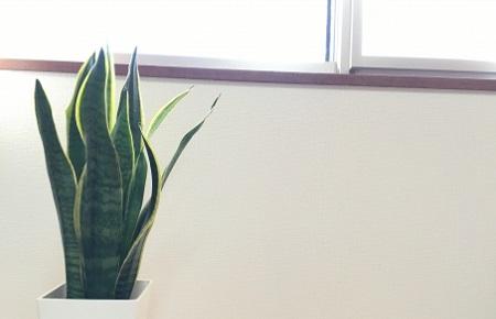 鬼門植物サンスベリア
